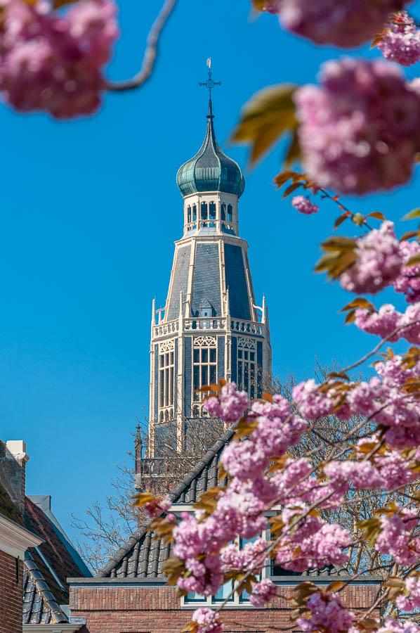 De kersenbloesem naast het stadhuis steekt mooi af bij de zuidertoren.